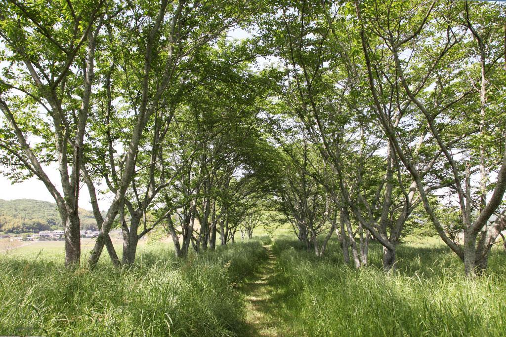 中腹の桜並木
