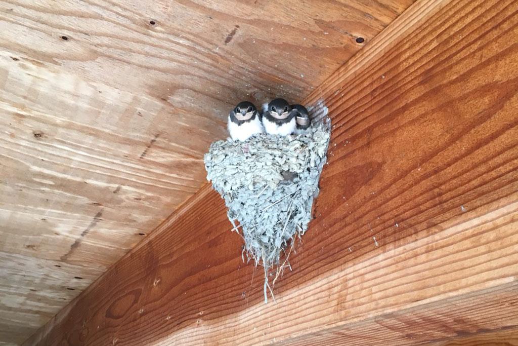 ガラス工房隣の燕の巣